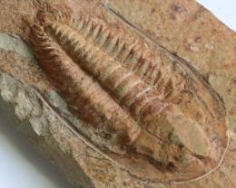 1005cts Cambrian Trilobite on matrix from Morocco SU 171