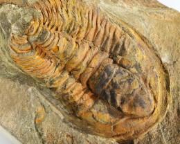 1485cts Cambrian Trilobite on matrix from Morocco SU 177