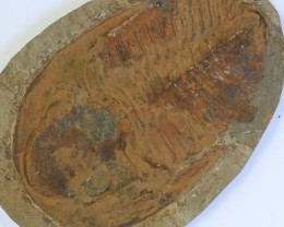 4980cts Cambrian Trilobite on matrix from Morocco SU 189