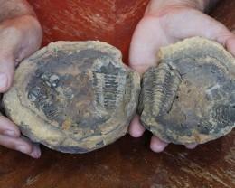 1.34Kilo Split Specimen Trilobite on matrix from Morocco SU 190