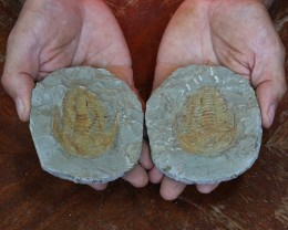 0.59Kilo Split Specimen Trilobite on matrix from Morocco SU 196