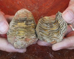 0.144Kilo Split Specimen Trilobite on matrix from Morocco SU 235