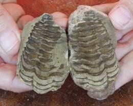 0.120Kilo Split Specimen Trilobite on matrix from Morocco SU 237