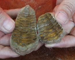 0.10Kilo Split Specimen Trilobite on matrix from Morocco SU 238