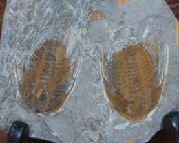 0.368Kilo Specimen Trilobite on matrix from Morocco SU 234