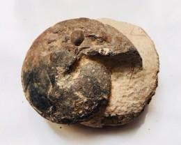 .290 kilo Weathered Ammonite Specimen from Morocco SU242