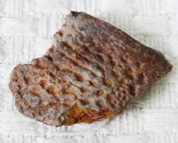 205Cts  Fossil Dinosaur Bone / scute   Morocco SU 150