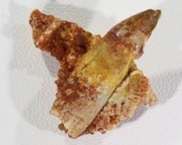 12.05Cts Jaw bone Fossil   Morocco  SU 336