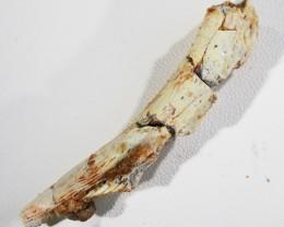 25.10Cts Jaw bone Fossil   Morocco  SU 334