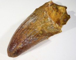 160Cts Fossil Tooth From a Spinosaurus Dinosaur Morocco  SU383