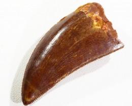 35cts Dinosaur Carcharodontosaurus Tooth SU327