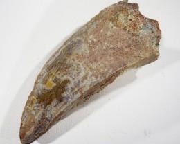 170cts Dinosaur Carcharodontosaurus Tooth SU392
