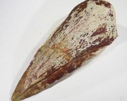 146cts Large Rare Fossil Dinosaur Claw Ceratodus Period SU395