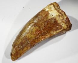 88.15cts Large Dinosaur Carcharodontosaurus Tooth SU329