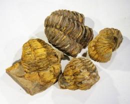 500cts Morroco parcel 4 Tribolite, SU410