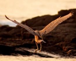 Juvenile Hawaiian shore bird.