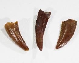 Collectors set Dinosaur teeth from Morocco  SU454