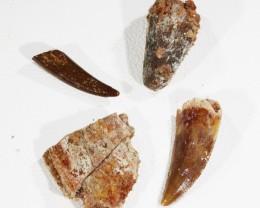 Collectors set Dinosaur teeth from Morocco  SU452