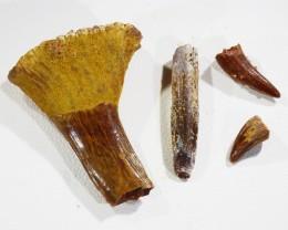 Collectors set Dinosaur teeth from Morocco  SU456