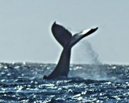 Whale photos taken in Kailua Kona, Hawaii.