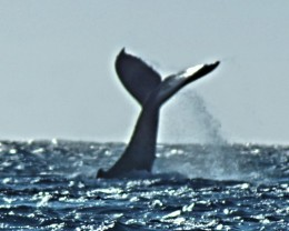 Hawaiian whale slapping the water with its tail.