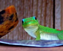 Gecko having breakfast of papaya.