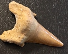 68 cts Megalodon Shark Tooth from morocco  WS  437