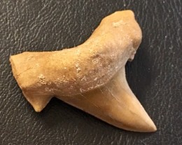 70 cts Megalodon Shark Tooth from morocco  WS  439