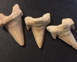 211 cts Three  Megalodon Shark Teeth from morocco  WS 442