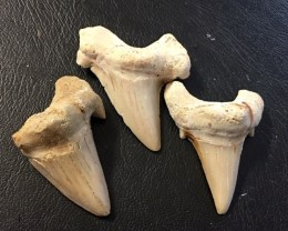 227 cts Three  Megalodon Shark Teeth from morocco  WS 444