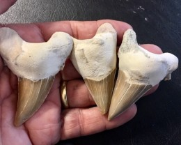 435cts Three  Large  Megalodon Shark Teeth from morocco  WS 452