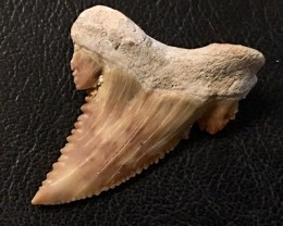 24cts  Serrated Shark Tooth , Inch Palaecarchodon Orientalis WS 458