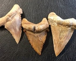 101 cts three   Serrated Shark Tooth , Inch Palaecarchodon Orientalis WS 46