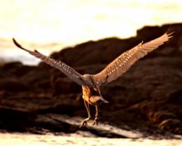 Juvenile shore bird, Big Island, Hawaii.
