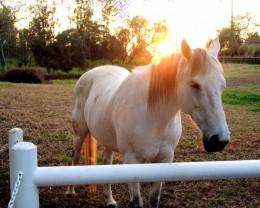 Hawaiian horse, Parker's ranch Big Island Hawaii.