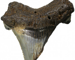 63.90 CTS  MEGALDON SHARK TOOTH FOSSIL  [MGW5393]