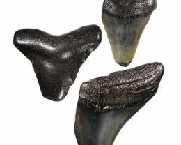 227.35 CTS  MEGALDON SHARK TOOTH FOSSIL  [PARCEL]
