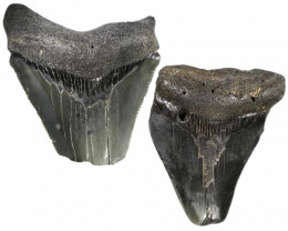 327.00 CTS  MEGALDON SHARK TOOTH FOSSIL  [PARCEL ]