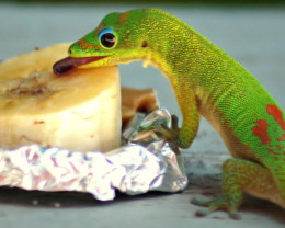 Gecko having breakfast.   These guys are very smart and very fast...