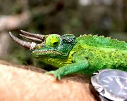 """Dragon Sam"" one of the local Jackson's Chameleons."