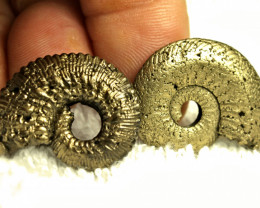 80.4 Tcw. Golden Pyrite Ammonites - Gorgeous