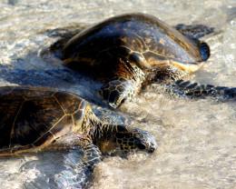 Hawaiian Sea Turtles, Big Island, Hawaii.