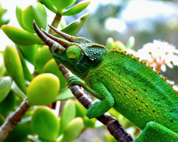 """Dragon Sam"" our local Jackson's Chameleon.    Sam eats bugs.  Sam changes colors to match surroundings."