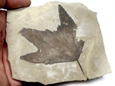 BEAUTIFUL LEAF FOSSIL SPECIMEN 124 GRAMS RA94