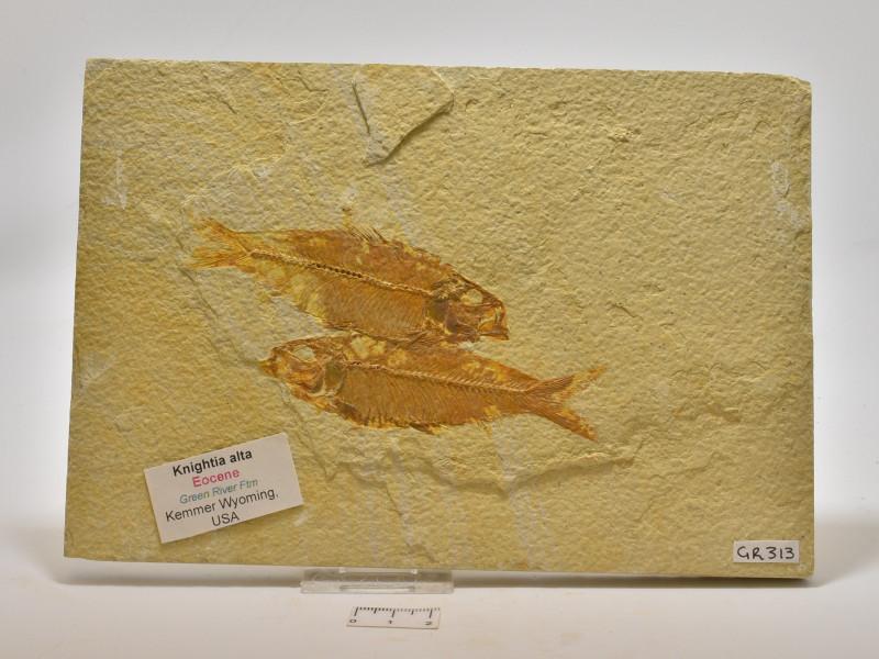 FOSSIL FISH, KNIGHTIA ALTA, USA ( GR313)