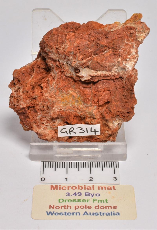 STROMATOLITE Microbial Fossil Mat Dresser Formation, Australia (GR314)