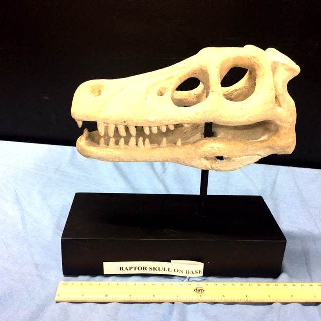 Raptor Skull Head Faossil sharpe teeth