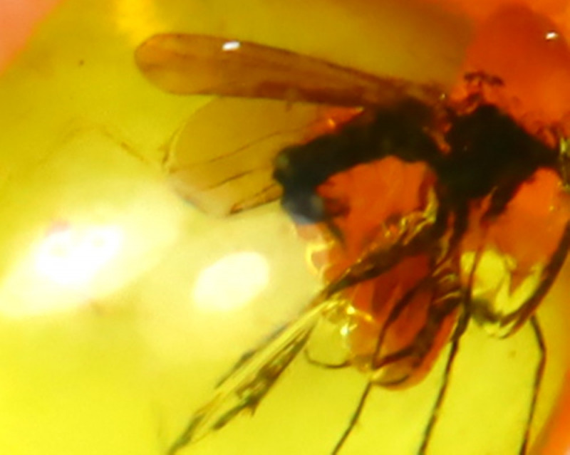Baltic Amber 0.95Ct Natural Poland Fossil Insect inside Amber EF1014/D1