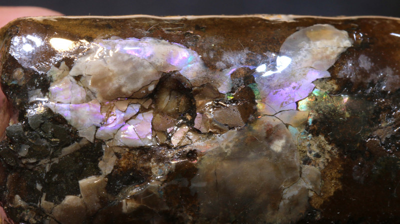 815cts Uncoiled Baculite Ammolite Specimen Canada RG-5578