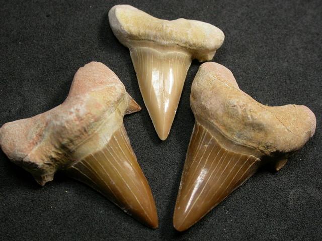 SHARK TEETH FOSSIL PARCEL  -OTODUS-MOROCCO 160 CTS [MX7157 ]